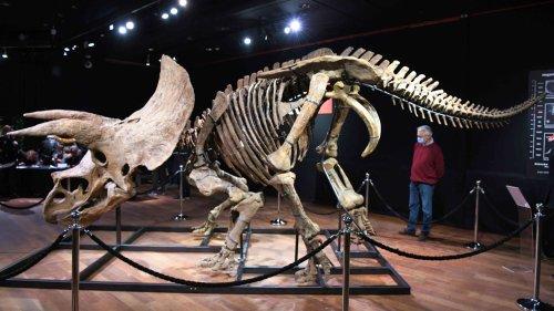 Le fossile de Big John, le plus grand triceratops découvert à ce jour, est mis aux enchères à Paris