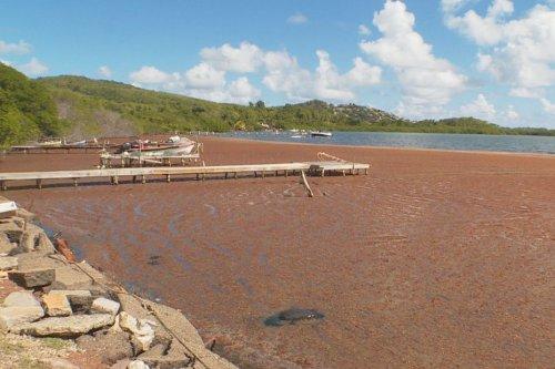 Les échouages massifs d'algues sargasse intégrés dans le régime d'indemnisation des catastrophes naturelles - Martinique la 1ère