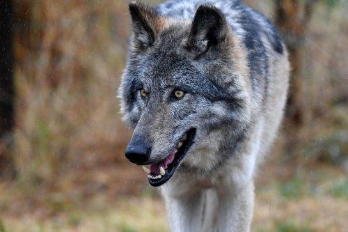 Comptage des loups : la bataille des chiffres fait rage entre pro et anti-loups