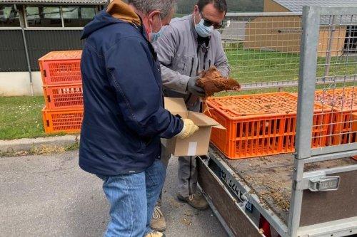 Cantal : pourquoi une petite commune a offert 150 poules pondeuses à ses habitants