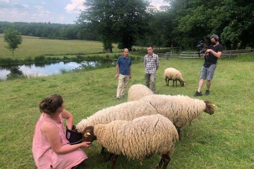 Animaux : le mouton solognot, découverte de cette race ovine ancienne mais costaud !