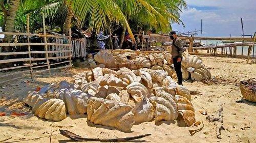 Biodiversité : saisie record de 200 tonnes de coquillages géants aux Philippines