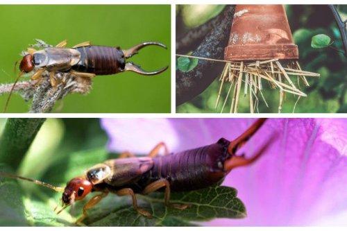 Jardinage : pince-oreille ou perce-oreille à installer dans nos arbres fruitiers
