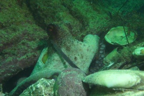 Invasion de poulpes : comment la science explique ce phénomène ? Nous avons interrogé Julien Dubreuil, biologiste marin
