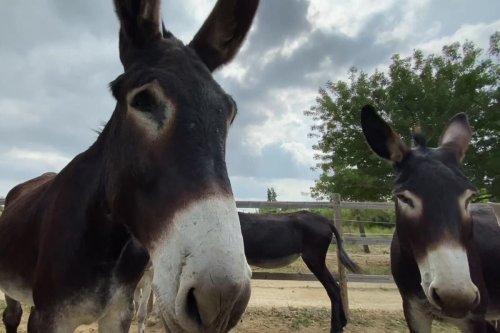 Aquí Sem : à l'asinerie Kuleni de Ponteilla, on protège l'âne catalan - France 3 Occitanie