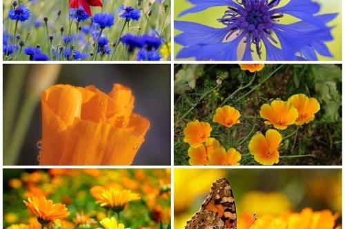 Jardinage : semez en mai 3 sachets de graines pour 6m² de fleurs d'été