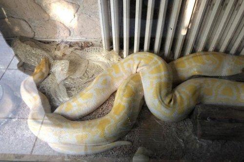 Vaucluse : de la drogue, des armes, mais aussi deux pythons parmi les plus gros au monde saisis à Avignon