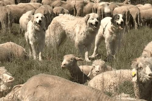 Hautes-Alpes : randonneurs attaqués par des chiens, un éleveur condamné à une amende
