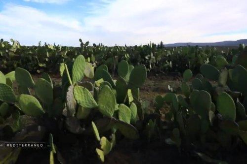 Tunisie : succès de l'huile de figue de Barbarie, produit phare en cosmétique