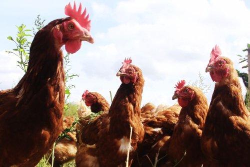 Amboise : un appel aux particuliers souhaitant offrir une retraite paisible à des poules destinées à l'abattoir