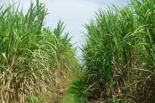 A Marie-Galante, de nombreux planteurs sont pour le transfert des cannes vers Le Moule - Guadeloupe la 1ère