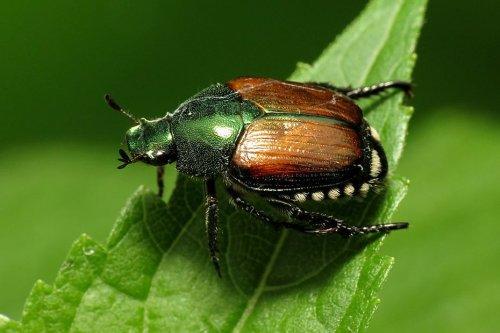 Alsace : les autorités en alerte avec la découverte d'un scarabée japonais à Bâle