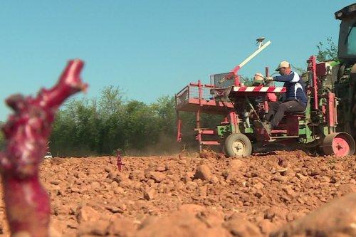Gard : des cépages étrangers résistants à la sécheresse plantés et testés par la Chambre d'Agriculture