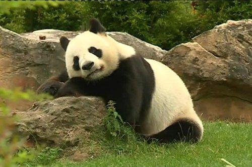 ZooParc de Beauval : Huan Huan, la femelle panda, attend des jumeaux !