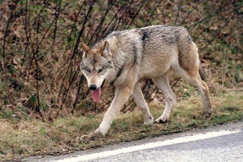 """""""Quand j'ai vu son regard, j'ai pris conscience que c'était un loup"""" : Un loup filmé près d'un village dans la Creuse"""