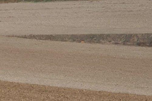 Traque du félin près d'Auxi-le-Château : il s'agirait d'un puma selon la gendarmerie