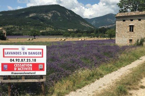 Drôme : l'Europe va-t-elle tuer la lavande, le thym et le romarin ?