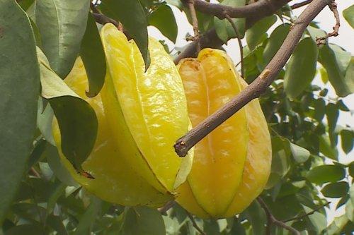 La carambole toxique pour les insuffisants rénaux et les dialysés - Polynésie la 1ère