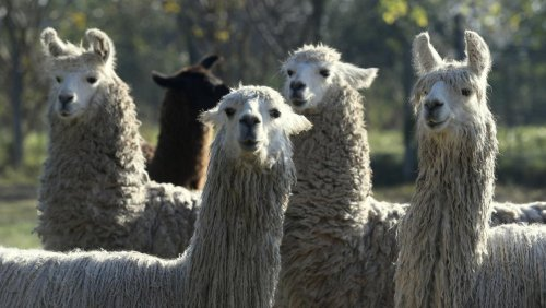 Covid-19 : les anticorps du lama efficaces contre les variants