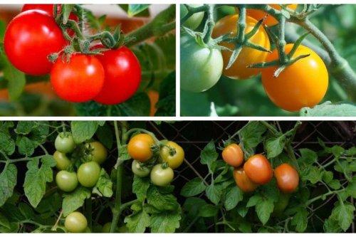 Jardinage : conseils pour bien planter vos pieds de tomates