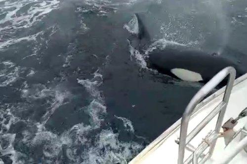 Les images rares d'une orque qui bouscule un voilier dans le golfe de Gascogne : une première dans les eaux françaises