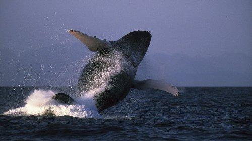 """Etats-Unis : un plongeur sain et sauf après avoir été """"avalé"""", puis recraché, par une baleine"""