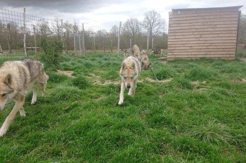 En Creuse : Julie et François ont créé un sanctuaire pour les chiens-loups