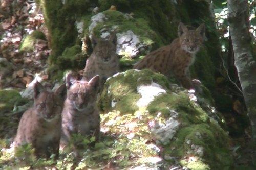 """VIDEO. """"Ils étaient à 2 mètres de moi !"""" Quatre bébés lynx filmés dans une forêt du Doubs"""