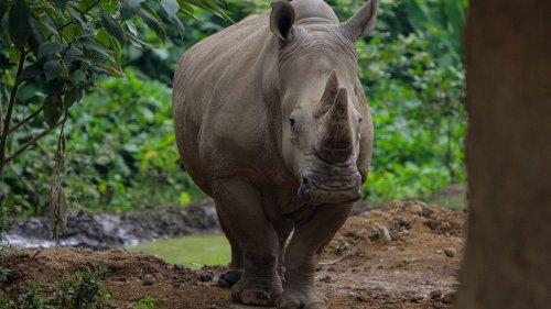 Pays-Bas : une femelle rhinocéros meurt noyée dans un zoo après un essai d'accouplement raté