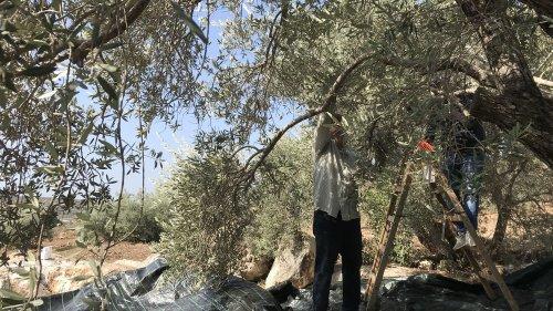 En Palestine, la récolte des olives vire au cauchemar