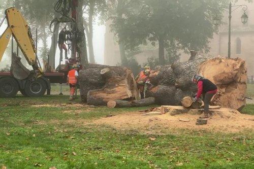 """Tarn : """"trahison"""" après l'abattage d'un cèdre dans un parc de Lavaur"""