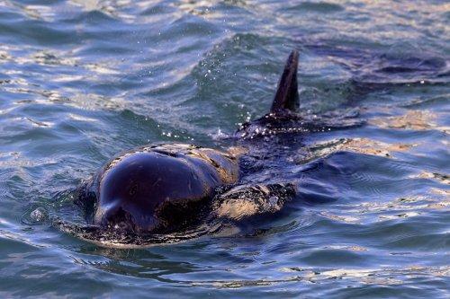 Les orques sont de plus en plus nombreuses à venir bousculer les voiliers, les scientifiques alertent les plaisanciers
