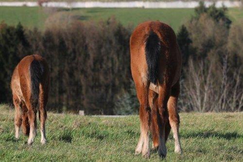 Un amour de cheval : les pouliches jumelles de Moselle fêtent leur un an et demi