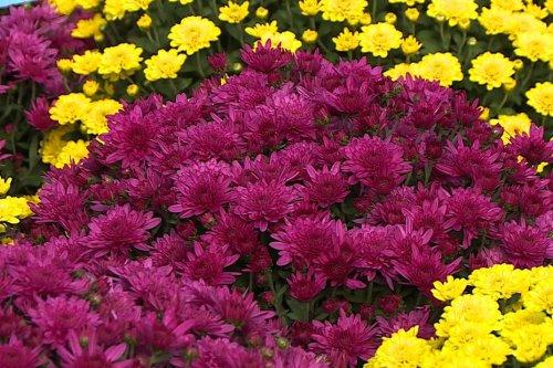 Montpellier : le chrysanthème, cette fleur d'automne reine de la Toussaint et des cimetières
