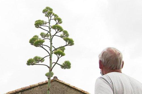 Nature. Un agave en fleurs dans un jardin de Montamisé dans la Vienne