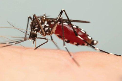 Alsace : comment vivre avec le moustique tigre, un insecte envahissant et très surveillé