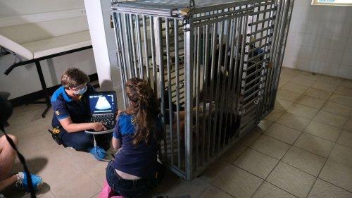 """Zoo de Beauval : la future naissance de pandas jumeaux est """"une grande nouvelle pour la conservation de l'espèce"""", se réjouit la directrice générale associée"""
