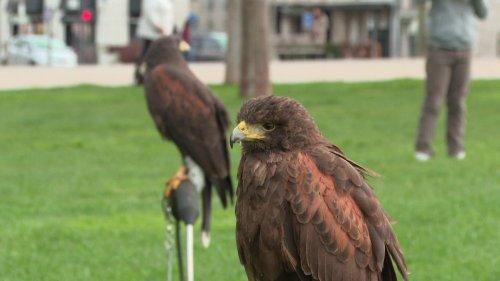 A Niort, des rapaces déployés en centre-ville pour lutter contre la prolifération des corbeaux