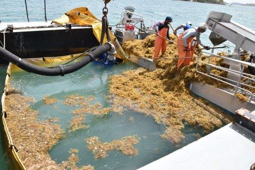 Sargasses : une gestion de l'État insuffisante selon le maire du Robert - Martinique la 1ère