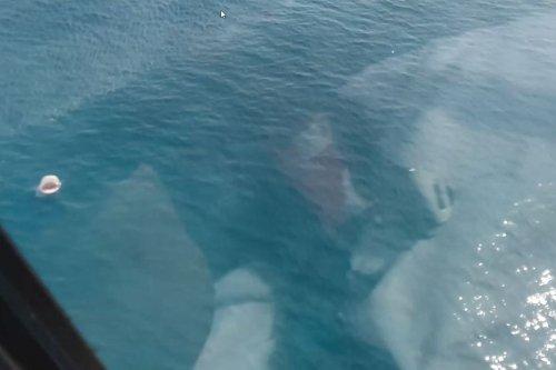 VIDEO. Un requin sort la gueule de l'eau lors de passages d'un hélicoptère à basse altitude - Nouvelle-Calédonie la 1ère