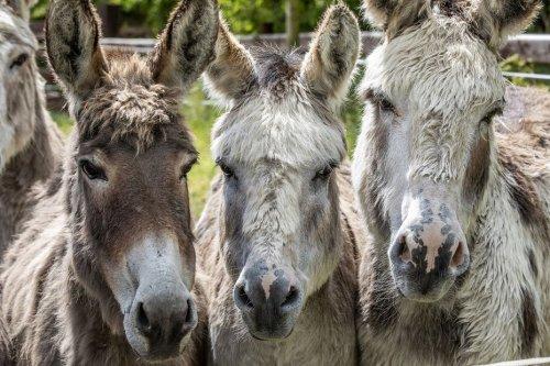 Maltraités ou abandonnés, plus de 300 ânes de toute la France ont trouvé refuge dans le Puy-de-Dôme