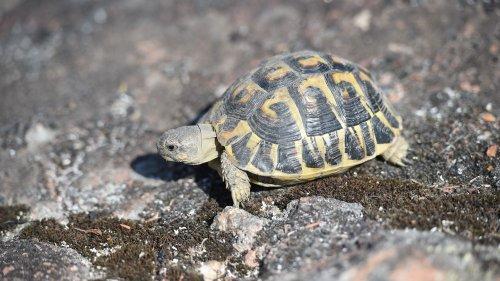 Var : le domaine viticole du Château de Berne condamné à près de 500 000 euros pour avoir défriché l'habitat des tortues d'Hermann