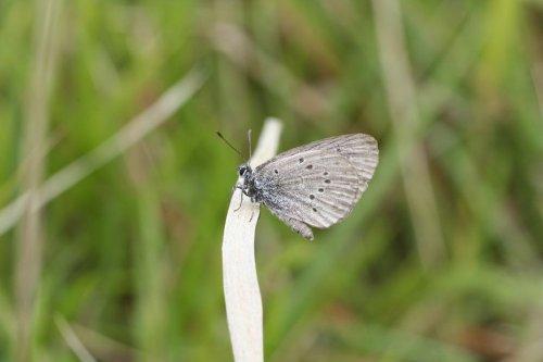 Plantes et petites bêtes des Hauts-de-France : l'argus bleu, un papillon menacé, dépendant d'une plante et d'une fourmi