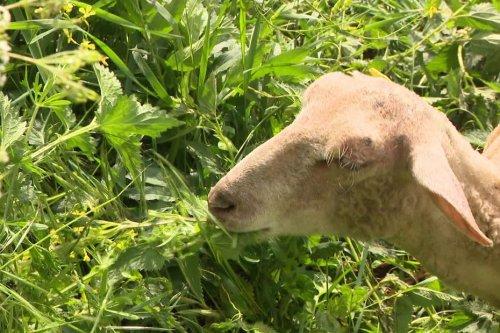 Ecopâturage : Bergerac passe la moutondeuse