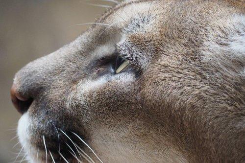 Puma en liberté près d'Arras : des associations proposent leur aide pour pister et endormir l'animal