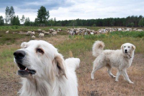 Nature : Le patou, ce chien de travail avec qui il faut cohabiter