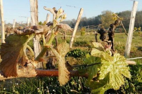 Gel du vignoble : comment les vignerons de Bordeaux accueillent le fonds de solidarité annoncé de 1 milliard d'euros