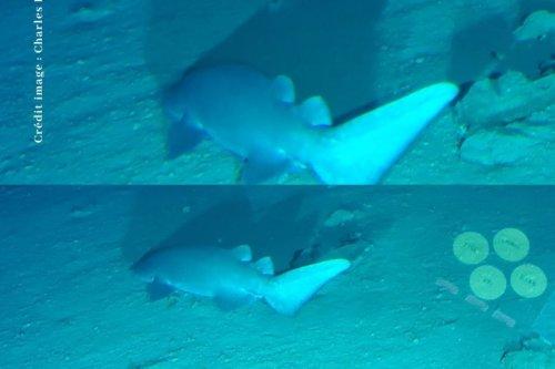 Un nouveau requin identifié en Polynésie française ? - Polynésie la 1ère
