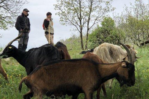 Besançon : des bergers dans la ville, avec leur troupeau Julien et Loïc entretiennent les collines par l'éco-pâturage