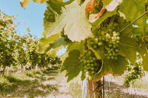 Sylter Wein - Deutschlands nördlichste Weinberge